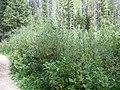 Salix lemmonii (5026890299).jpg