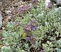 Salvia dorrii var clokeyi 6.jpg