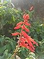 Salvia splendens-scarlet sage, tropical sage 3.jpg