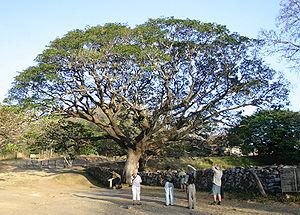 Albizia saman - In Guanacaste, Costa Rica.