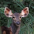 Sambar (Cervus unicolor) female head Bardiya.jpg