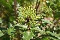 Sanguinaria canadensis 10zz.jpg