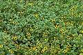 Sanvitalia procumbens - plants (aka).jpg