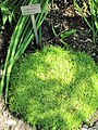 Saponaria pumilio (Samoens) 2.jpg