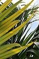 Satakentia liukiuensis 3zz.jpg