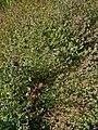 Satureja hortensis 001.JPG