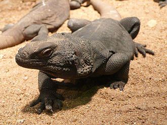Chuckwalla - Common chuckwalla, S. ater (female)
