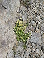 Saxifraga moschata001.jpg