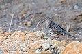 Scaled Dove - Palomita Maraquita (Columbina squammata ridgwayi) (23048225273).jpg