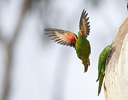 Scaly Breasted Parrots (17008207669).jpg