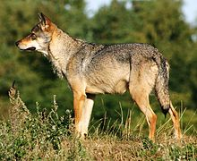 Scandinavian grey wolf Canis lupus (cropped).jpg