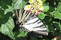 Scarce swallowtail (MakGi) (35135224533).jpg