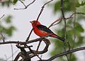Scarlet Tanager (Piranga olivacea) (2587723656).jpg