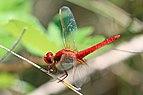 Scarlet darter (Crocothemis erythraea) male Bulgaria.jpg