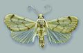 Schacontia lachesis male - ZooKeys-291-027-g001-11.jpeg