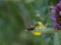 Schlitz Eisenberg Spider Prunella vulgaris.png