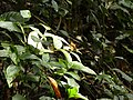 Schmetterling 1 Nationalpark Tai.jpg