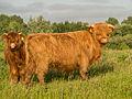Schotse hooglander koeien.jpg