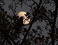 Schwarzdrossels Nachtgesang - panoramio.jpg