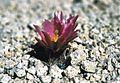 Sclerocactus nyensis fh 108 1 NV B.jpg