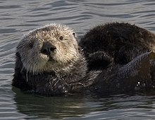 A furry sea otter with a light-brown face and a dark-brown body, sitting on its back in the water