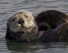 Sea otter cropped.jpg