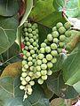 Seagrape (Coccoloba uvifera) fruit at Playa Lucia, Yabucoa, Puerto Rico.jpg