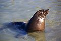 Seal at Hout Bay 2.jpg