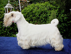 SealyhamTerrier01.jpg