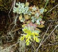 Sedum divergens on Duckabush River trail.jpg