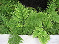 Selaginella pallescens.JPG