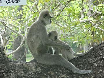 Semnopithecus priam (Anuradhapura) 01.JPG