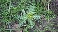 Senecio vulgaris 109035592.jpg