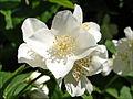 Seringat en fleur (Parc oriental, Maulévrier) (7308524220).jpg