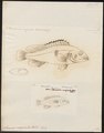 Serranus marginalis - - Print - Iconographia Zoologica - Special Collections University of Amsterdam - UBA01 IZ12900217.tif