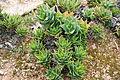 Ses Salines - Botanicactus - Aloe perfoliata 01 ies.jpg