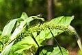 Setaria viridis 3.jpg
