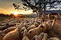 Sheep-3023520.jpg