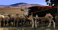 California to Ban Antibiotics In Livestock?
