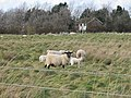 Sheep and house on New Downs Farm - geograph.org.uk - 351615.jpg