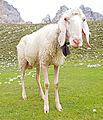 Sheep in Austria.jpg
