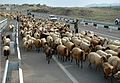 Sheep walking down the highway 0022.jpg