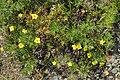 Shrubby Cinquefoil (Dasiphora fruticosa) - Gros Morne National Park, Newfoundland 2019-08-17 (06).jpg
