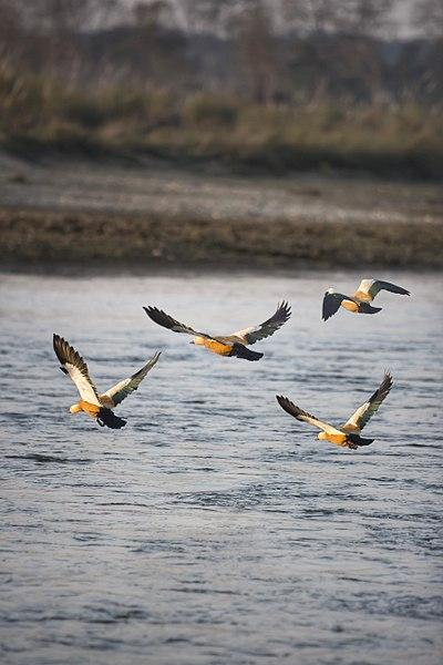 File:Siberian Duck.jpg