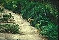 Sierra Nevada red fox on a path (6602098681).jpg