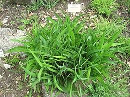 Silene bupleuroides - Berlin Botanical Garden - IMG 8496