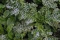 Silybum marianum (Asteraceae) 1.jpg