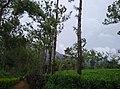 Sitargundu Estate, Kollengode South, Kerala 678508, India - panoramio (6).jpg