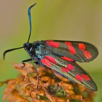 Six-spot Burnet by Ernst Vikne.jpg