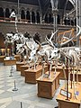 Skeletons in the Oxford University Museum of Natural History 2.jpg